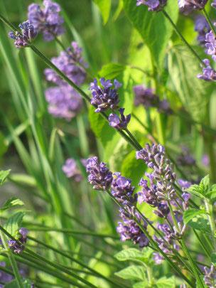Lavendel (Foto: Birgit Helbig)