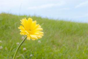 青空に向かい野原に咲く黄色のガーベラ。