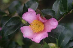 山茶花、さざんか咲いた道