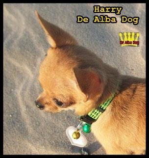 Foto de perro de raza chihuahua sexo macho, de pelo corto, de los criadores de chihuahuas De Alba Dog en Valencia (España), venta de chihuahuas; cachorros chihuahua de pelo corto y largo con pedigree y afijo