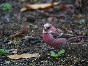 ・2006年12月9日 筑波山  ・4~5羽のうち1羽がピンク色が鮮やかな成鳥♂だった。