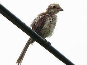 ・2012年7月3日 北印旛沼 巣立ち雛