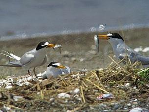 2012年6月26日 葛西臨海公園 給餌競争