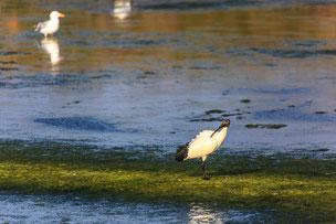ibis guérande nils dessale