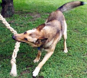 z.B. kann jeder Hund völlig gewaltfrei und positiv lernen, etwas problemlos herzugeben ...