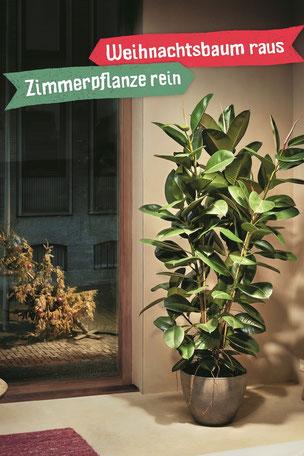 Zimmerpflanze Olten