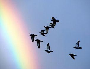 CCO pigeons