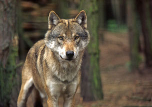 Ein großer Wolf schaut direkt in die Kamera