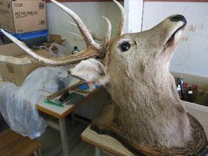 教室内鹿頭部写真
