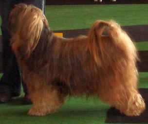 BOB Langerwehe 2014  Tibet Terrier und BIS Tibeter Attila von Njampoo