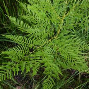 aadelaarsvaarn, pterdium aquilinum