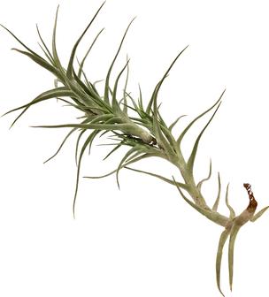 Tillandsia diaguitensis