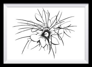 Safranblüte Illustration, Zeichnung in schwarz-weiß