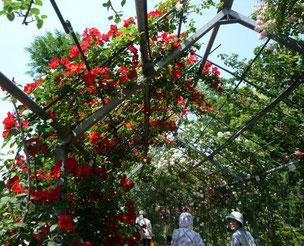 平成の森公園バラの小径