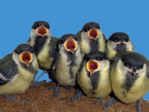 Junge Kohlmeisen. Foto: NABU-Vogelschutzzentrum