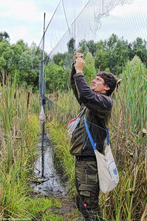 Michael Wimbauer befreit einen Vogel aus dem hauchdünnen Fangnetz. (Foto: Wolfgang Lübcke)