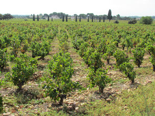 Weinberge in Châteauneuf du Pape