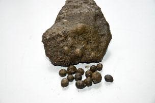 火山豆化石(土を水で流すと雨の化石がポロポロととれてくる)