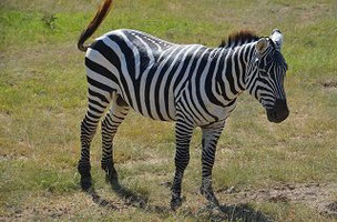 Zebra in Tsavo Ost