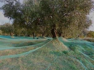 Les filets sont placés pour la récolte des olives des Baronnies