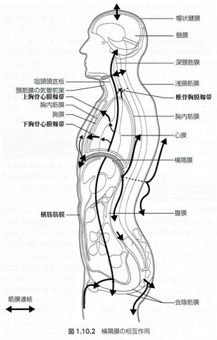 横隔膜の相互作用