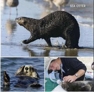 写真上:カリフォルニア州エルクホーン湿地帯ではラッコは浜に上がってくることがあるが、陸上では足取りがおぼつかない。左:日差しを防ぐため、手で覆っている。右:ティム・ティンカーが長期研究の一環で捕獲したラッコの歯を調べている。Photo by Suzi Eszterhas