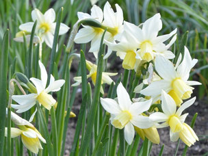 Cyclamineus-Narzisse (Narcissus cyclamineus 'Tracey')