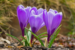 Crocus - großblütiger Gartenkrokus - violett
