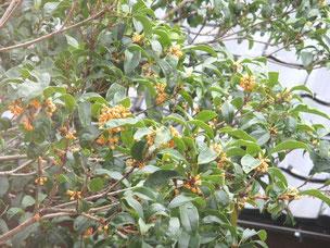 二度咲きの金木犀