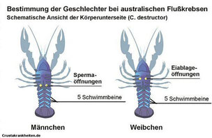 Geschlechtsbestimmung. Oben: Gattung Cherax. Unten: Gatung Cambarellus und Procambarus.