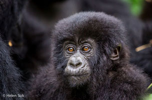 A mountain gorilla in the park