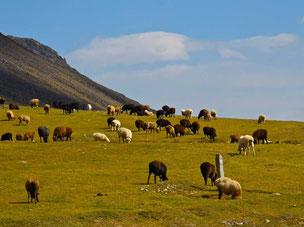noch finden die Herden genügend Futter