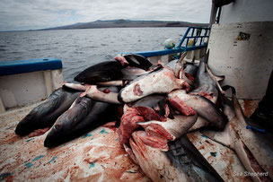 "le ""Shark Finning"" illégal  photo Sea Shepherd/ Tim Watters"