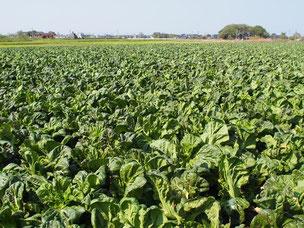 漬物原料野菜を自社栽培