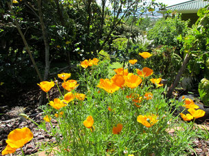 Californian poppy in our terrace garden