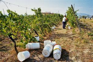Beginn der Weinernte in Savignano Sul Rubicone
