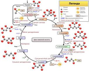 цикл кребса, цикл трикарбоновых кислот, цикл лимонной кислоты
