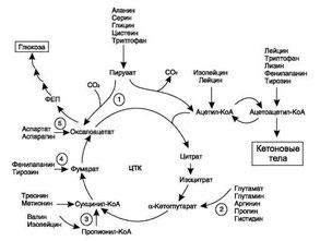 аминокислоты в Цикле Кребса