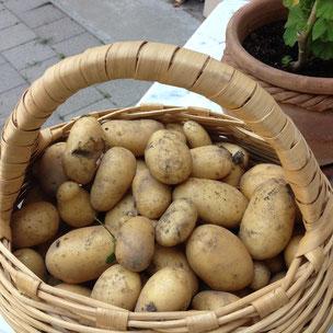 Potager, Gap, Hautes Alpes, kitchen garden, pommes de terre, potatoes, récolte