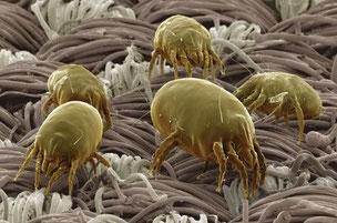 Allergia agli acari della polvere: sintomi e rimedi