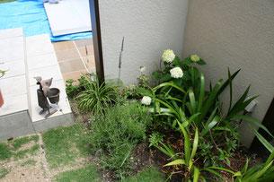 壁の裏に植えたアナベル