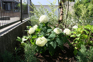 植栽も白いおうちに合うアナベル