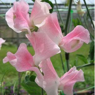 Einen Hummel in einer Kornblumen-Blüte