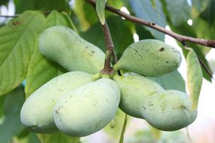 Foto 1 - De vrucht heeft een ovaalronde vorm en groeien in kluitjes van drie tot vijf vruchten