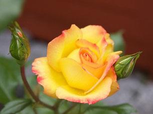 Rose gelb