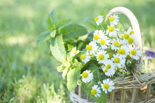 緑の野原に置かれた籐のバスケット。マーガレットの花でいっぱい。