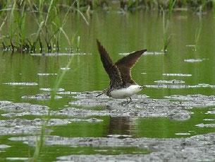 ・2011年7月23日 牛久沼田んぼ  ・コチドリの群れを双眼鏡で見ていると、やや大きめの鳥が見つかった。