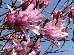 春の訪れを告げるシデコブシ