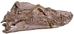 Styxosaurus snowii holotype