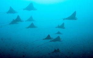 Eage Ray, Pulau Weh